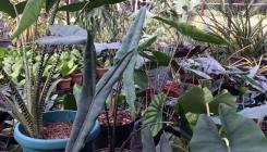 Alocasia, Colocasia & Caladium