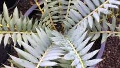 Cycads & Succulent
